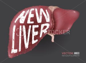 Realistic vector illustration of new human liver consisting of  low-poly geometry, lines and dots - PrintStocker.com
