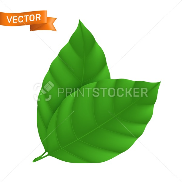 Green detailed leaf, vector illustration with two ribbed leaves isolated on white background, can be used as eco icon or web design element - PrintStocker.com
