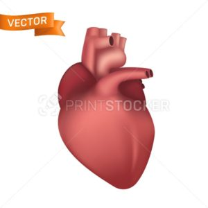 Human heart interal organ. 3d realistic anatomical vector illustration isolated on white background - PrintStocker.com