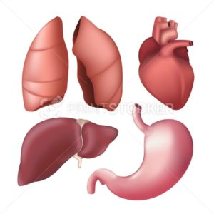 Set of realistic human internal organs – lungs, liver, heart, stomach. Vector illustration of different anatomical body parts isolated on white background - PrintStocker.com