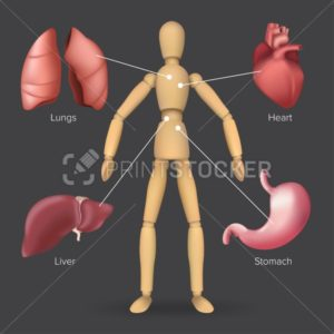 Infographic with human internal organs: heart, stomach, liver, lungs placed on a male or female wooden mannequin silhouette. Vector illustration of body anatomy with a dummy on a dark background - PrintStocker.com