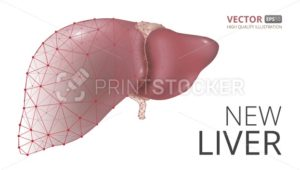 Realistic vector illustration of new human liver consisting of  low-poly geometry, lines and dots isolated on white background - PrintStocker.com