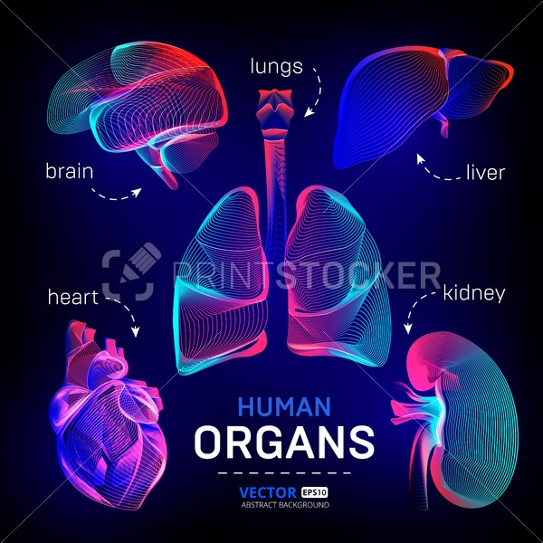 Vector set of different human inner organs contour or wireframe for medical infographics in abstract 3d geometry lines texture and outline gradient waves graphic design illustration on dark background - PrintStocker.com